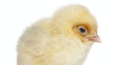 A chick