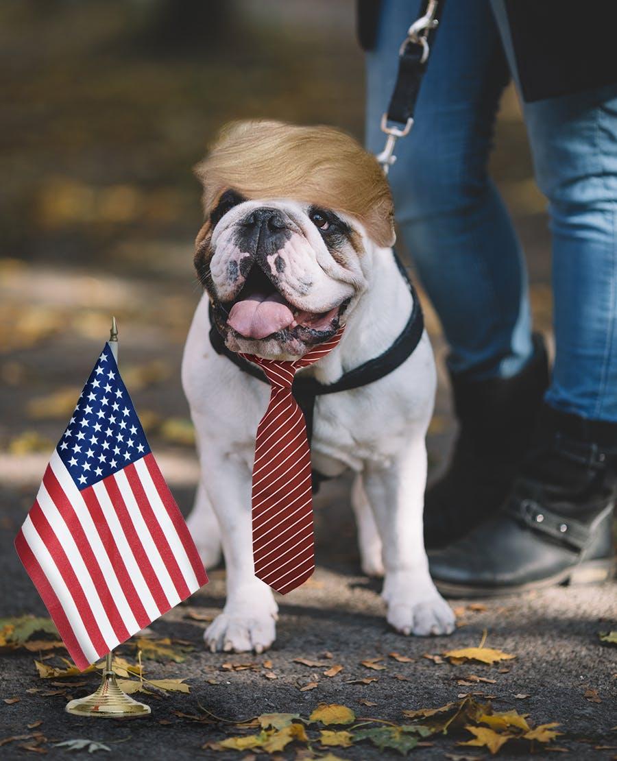 A british bull dog dressed as Donald Trump