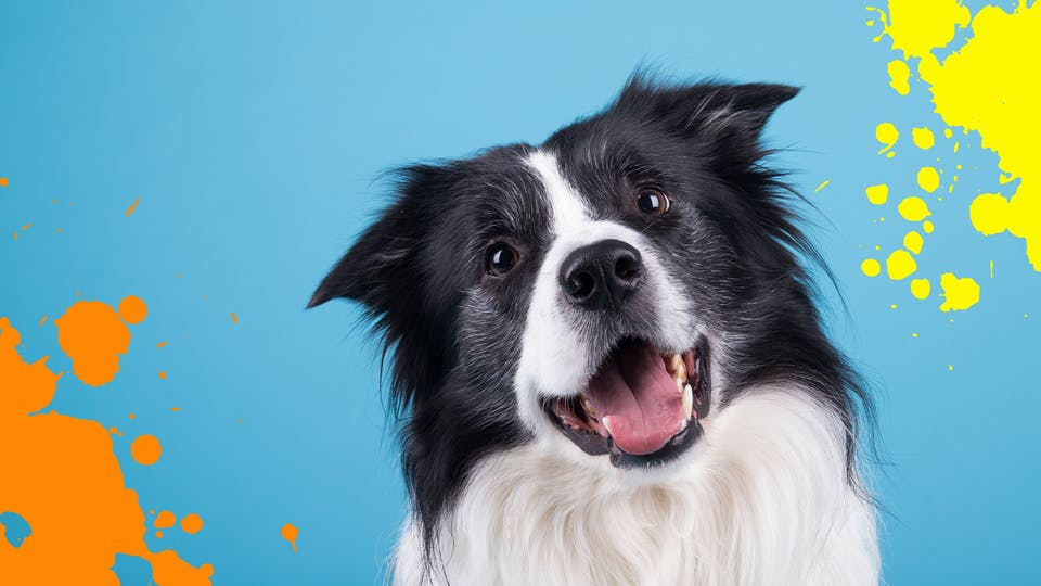 Collie dog on blue background