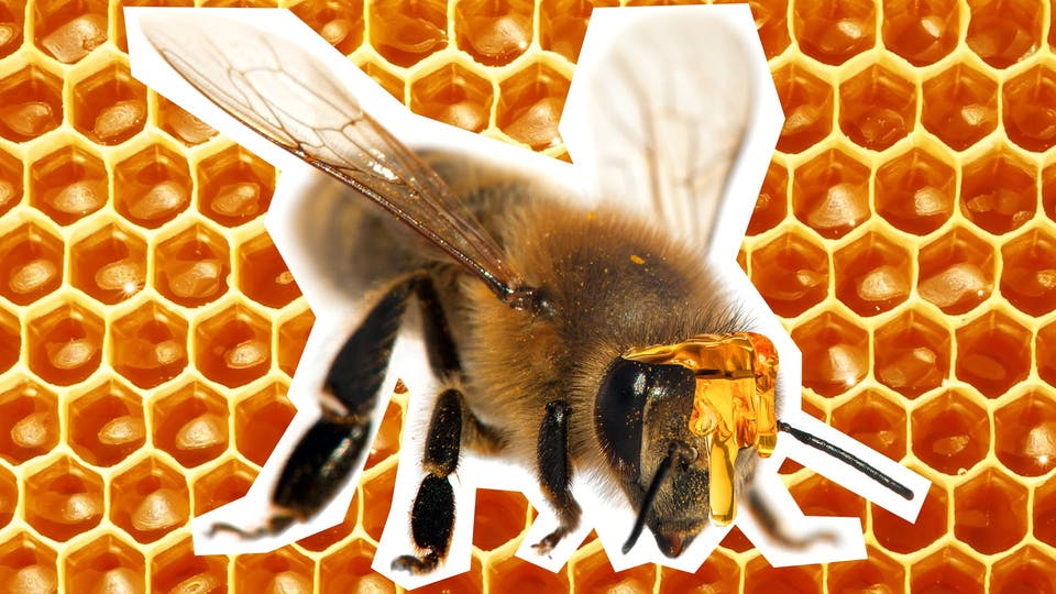 A bee on a honeycomb background. Why do bees have sticky hair?