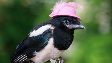 A flamboyant magpie