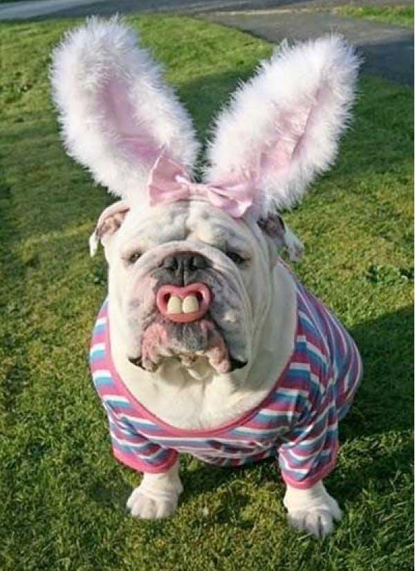 Dog dressed as a pig