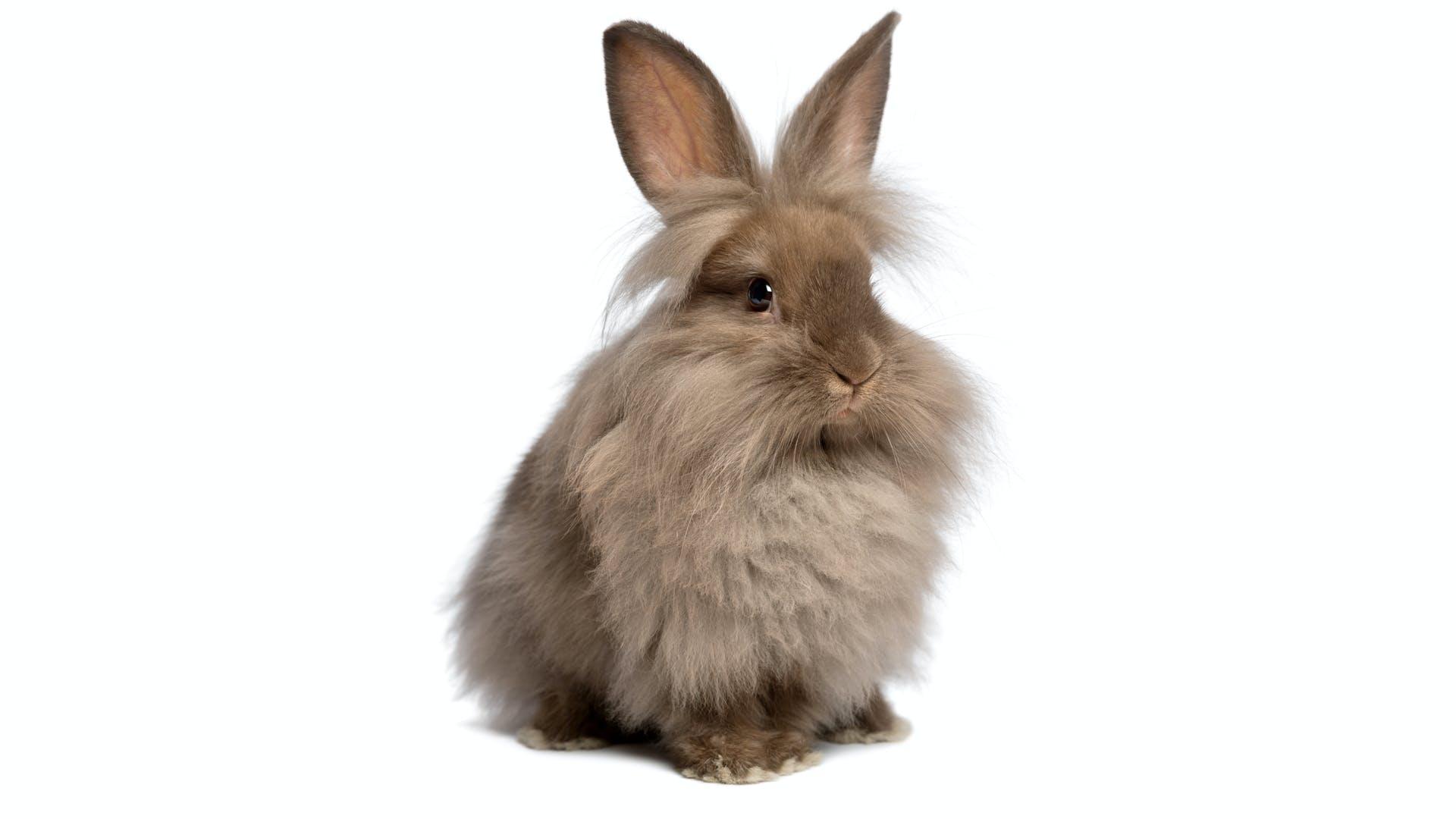 A fluffy rabbit