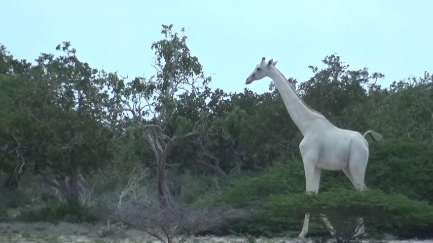 A rare white giraffe