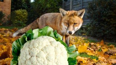 A cauliflower-loving fox