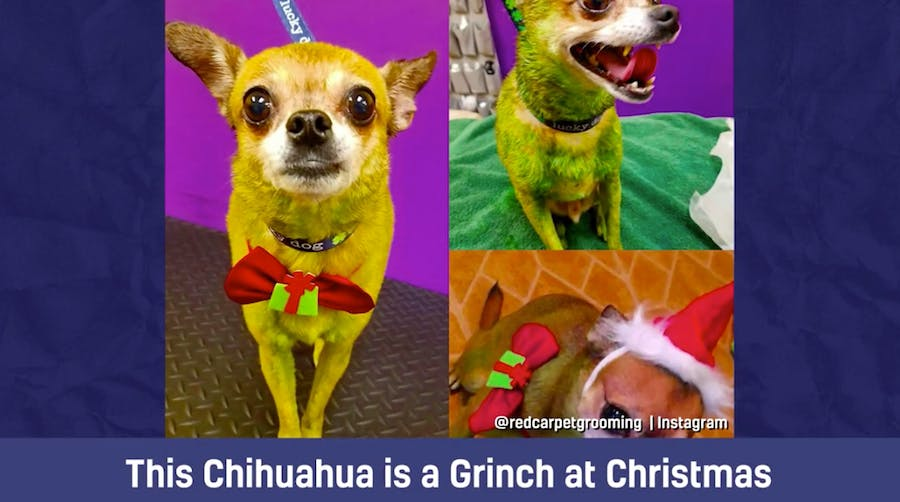 This Chihuahua is a Grinch at Christmas