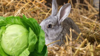 A rabbit tucking into some cabbage