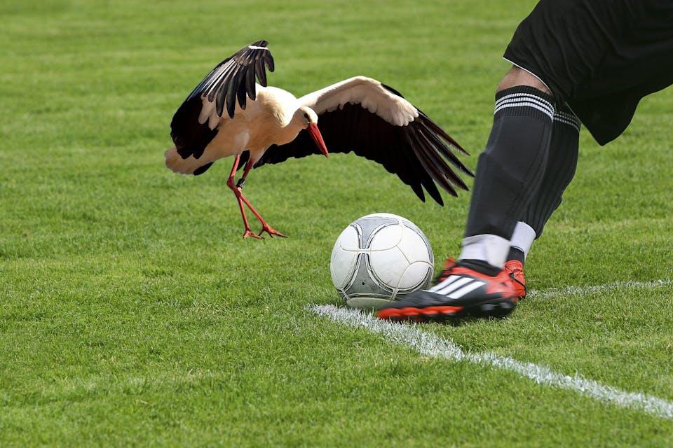 A bird playing football