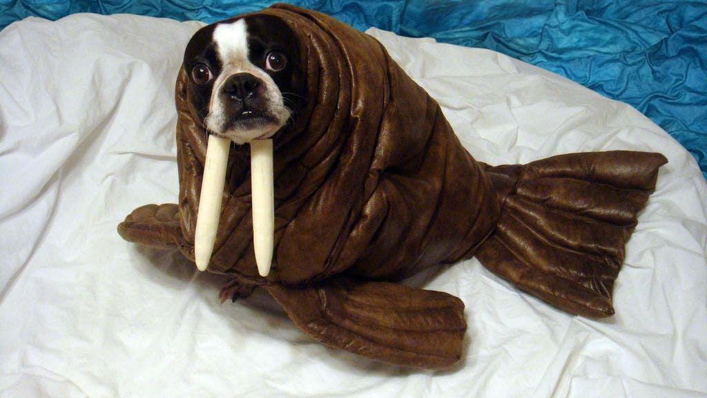 Dog dressed as a walrus