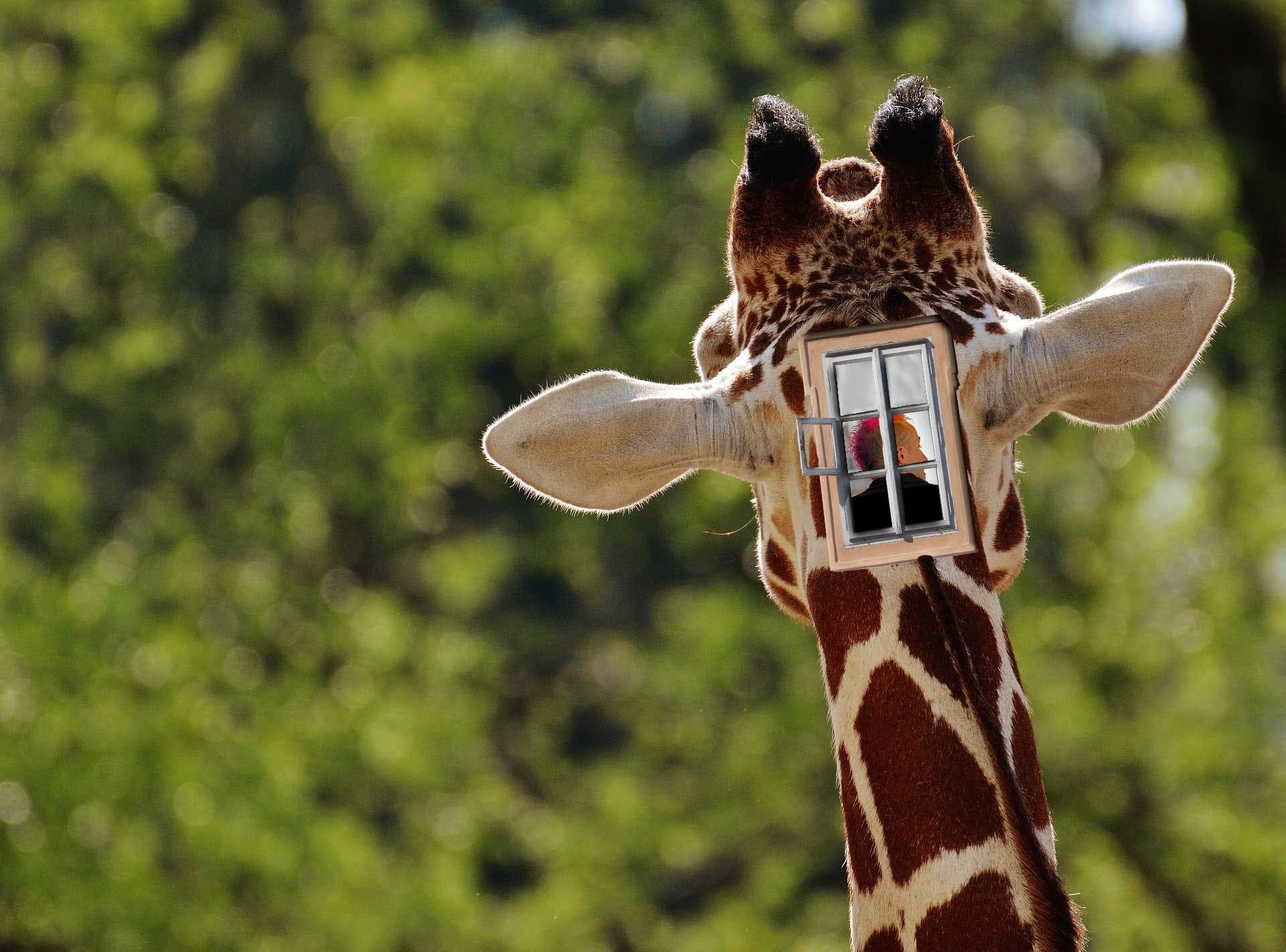 A giraffe being driven from within