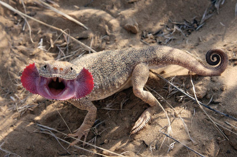 This is a Toadhead Agama