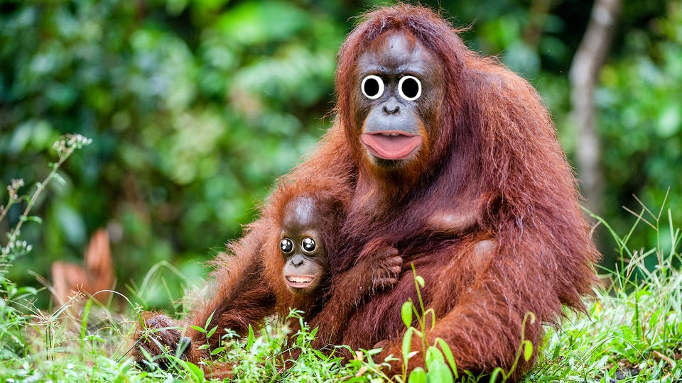 An orangutan and baby in the jungle