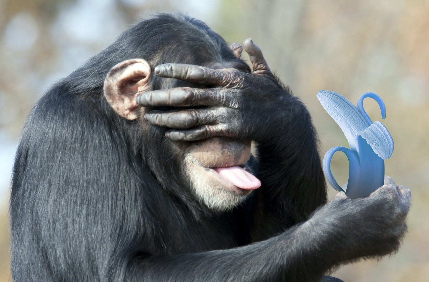 chimp disgusted at a blue banana