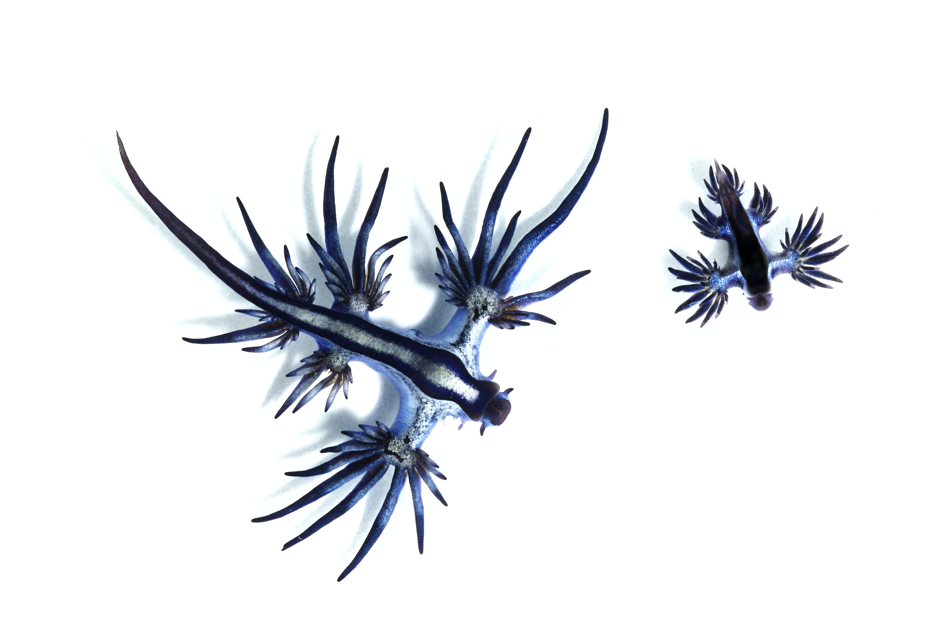 This is a Glaucus Atlanticus