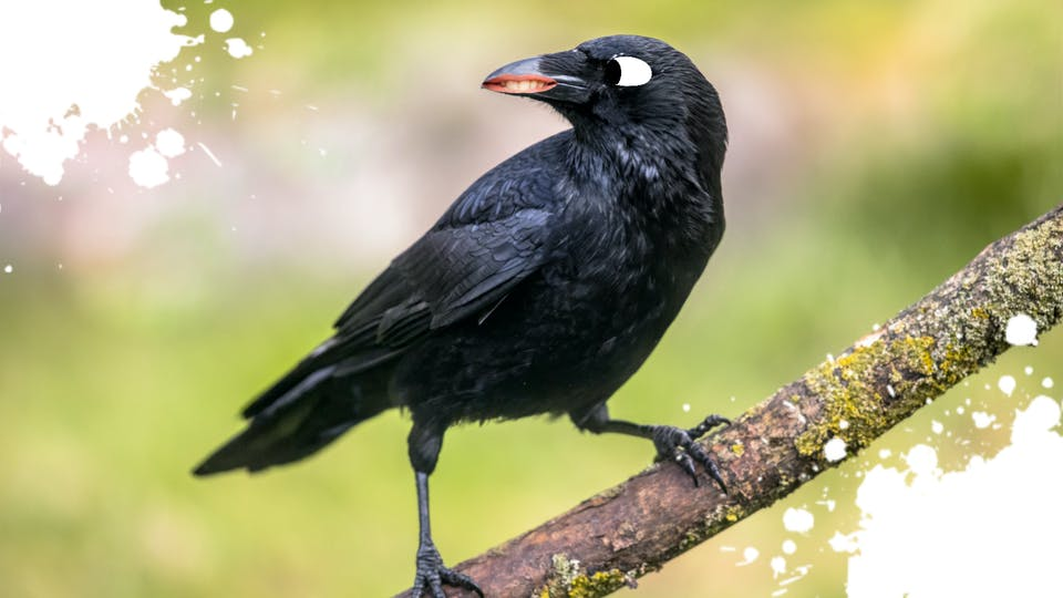 A crow with a grudge