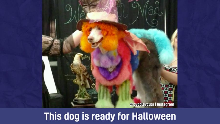 This dog is ready for Halloween – it looks like Willy Wonka