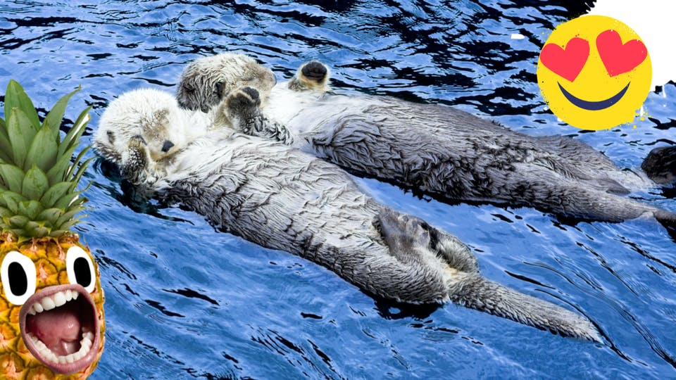 Two otters holding hands