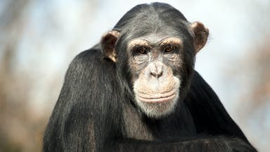A wise chimp