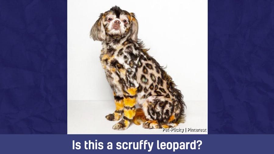 A spaniel which has been styled to look like a leopard