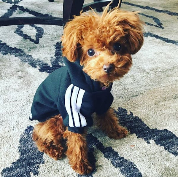 Katy Perry's dog Butters wears tiny Adidas tracksuit jackets