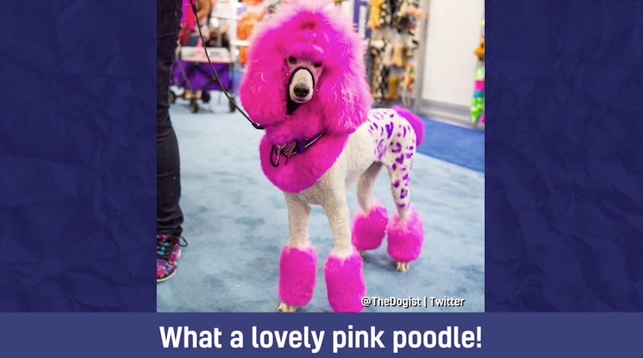 A pink poodle