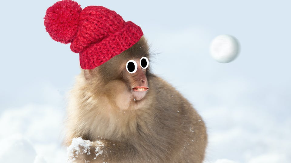A Japanese macaque having a snowball fight