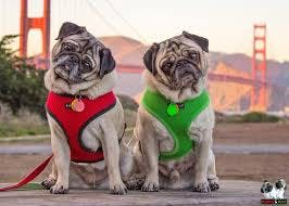 Minnie and Max Pugs
