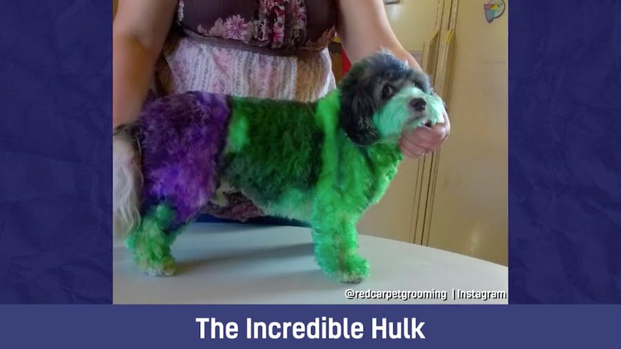 A dog with a passing resemblance to the Incredible Hulk