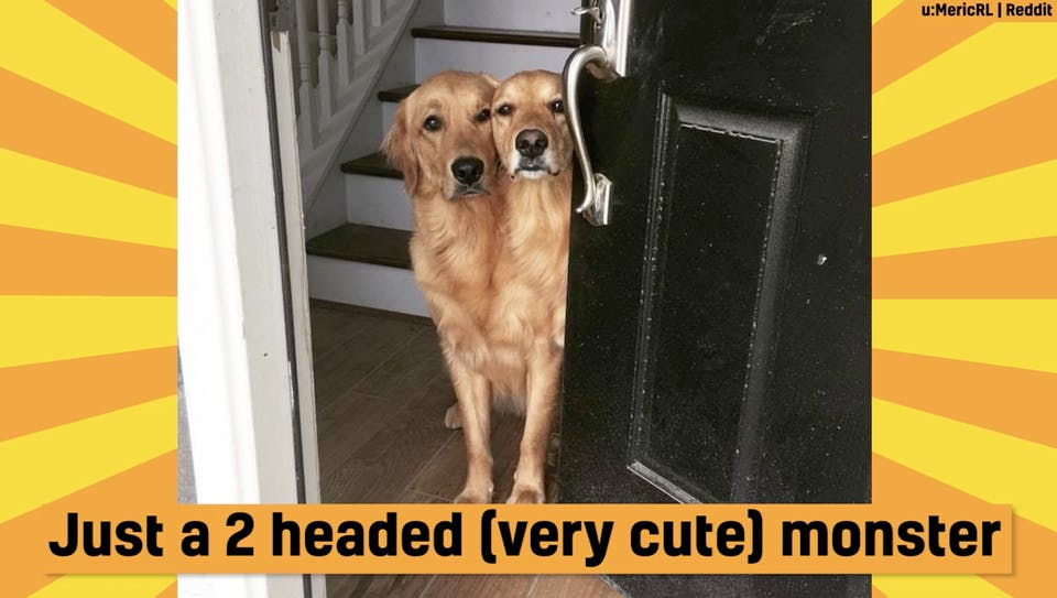 A two-headed dog