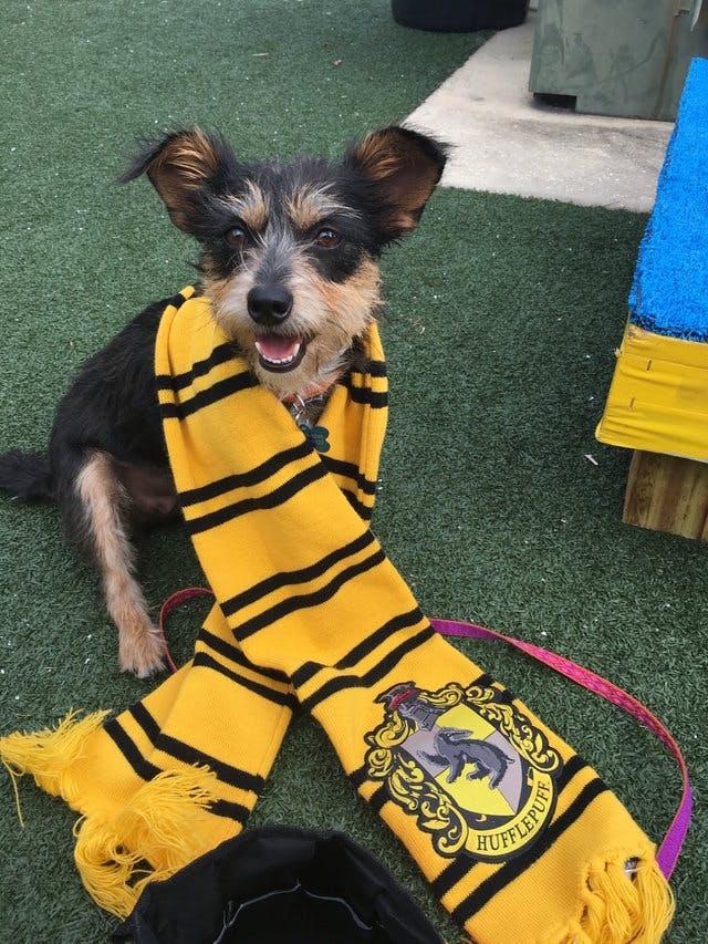 A dog wearing a Hogwarts scarf