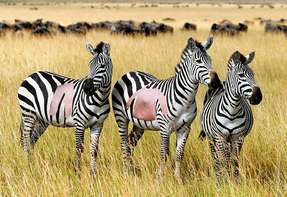 zebras with clothes shapes missing from their coat