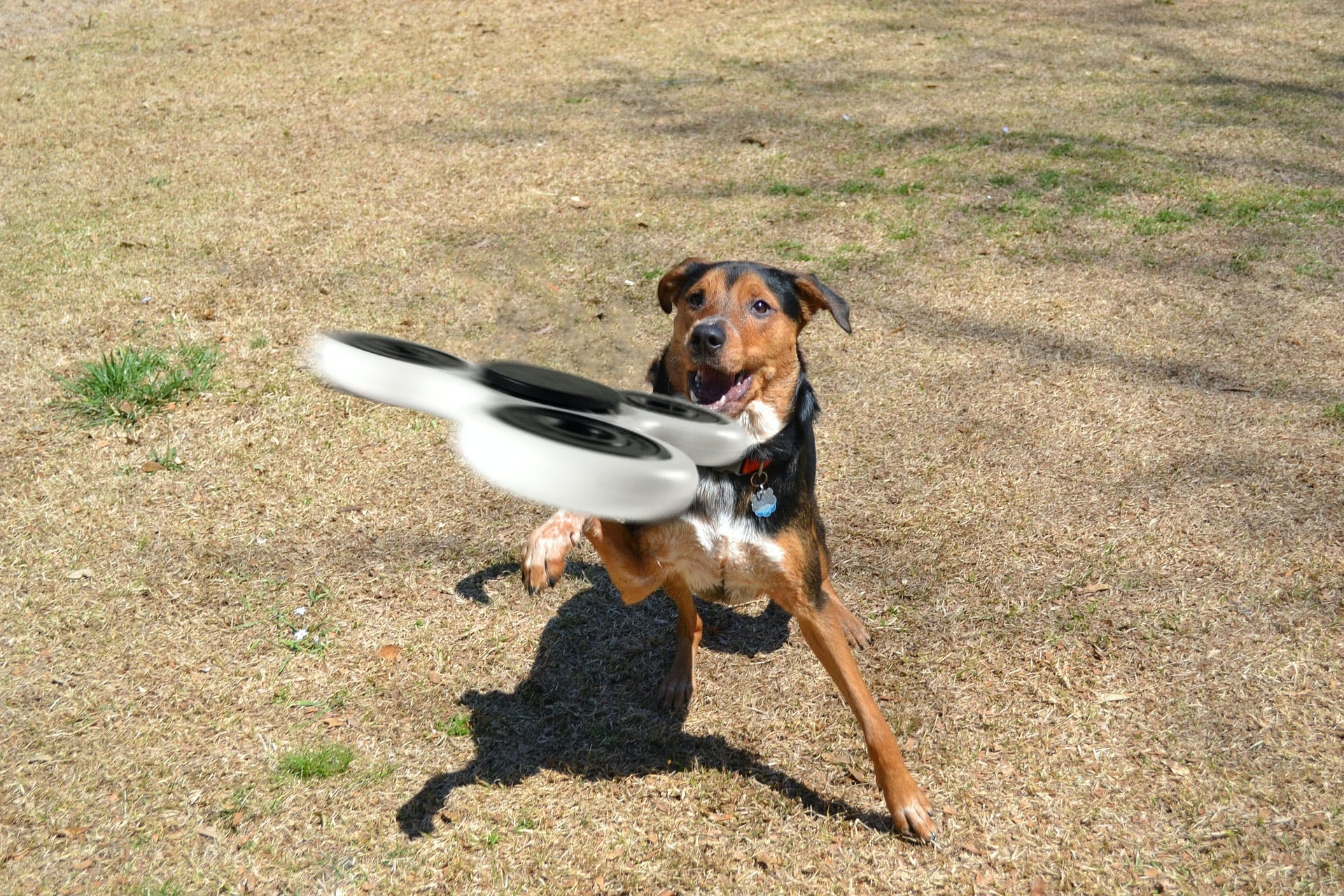 Dog catching a fidget spinner