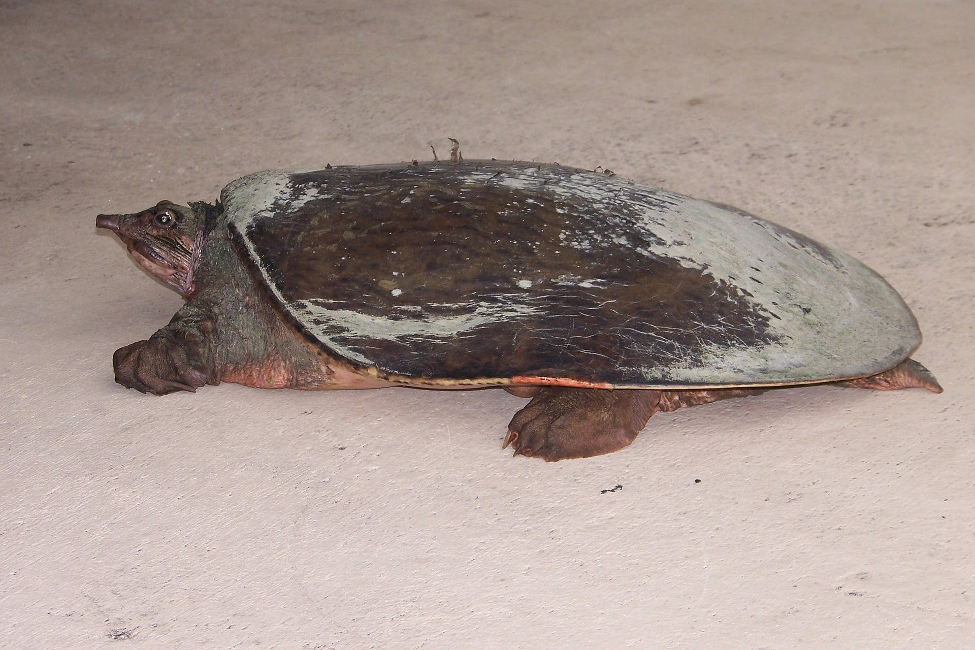 This is a softshell turtle