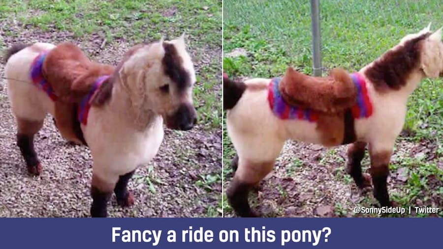 This dog could easily pass for a pony – it even has a saddle